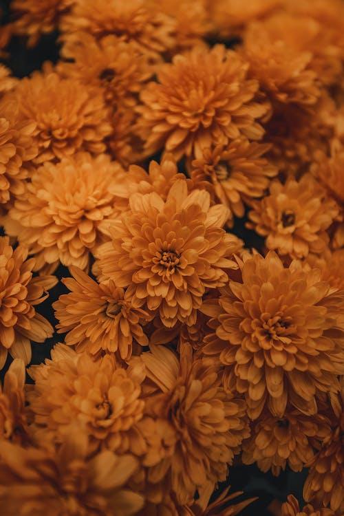 Foto profissional grátis de buquê, cor, crisântemo, flora