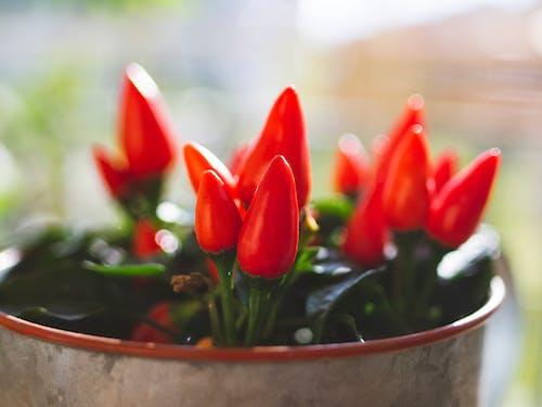 Gratis arkivbilde med anlegg, chili, chilipepper, høst