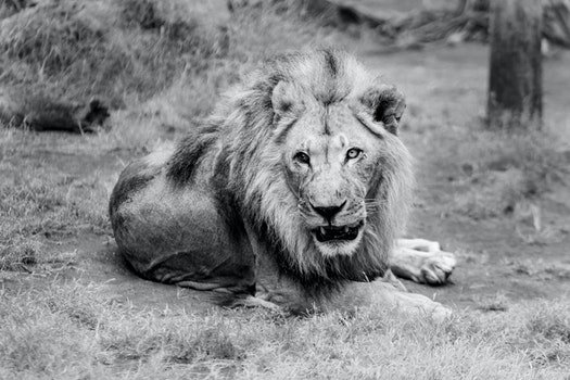 Portrait of Lion