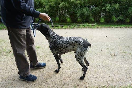 Darmowe zdjęcie z galerii z braque allemand, canin, chasse, chien