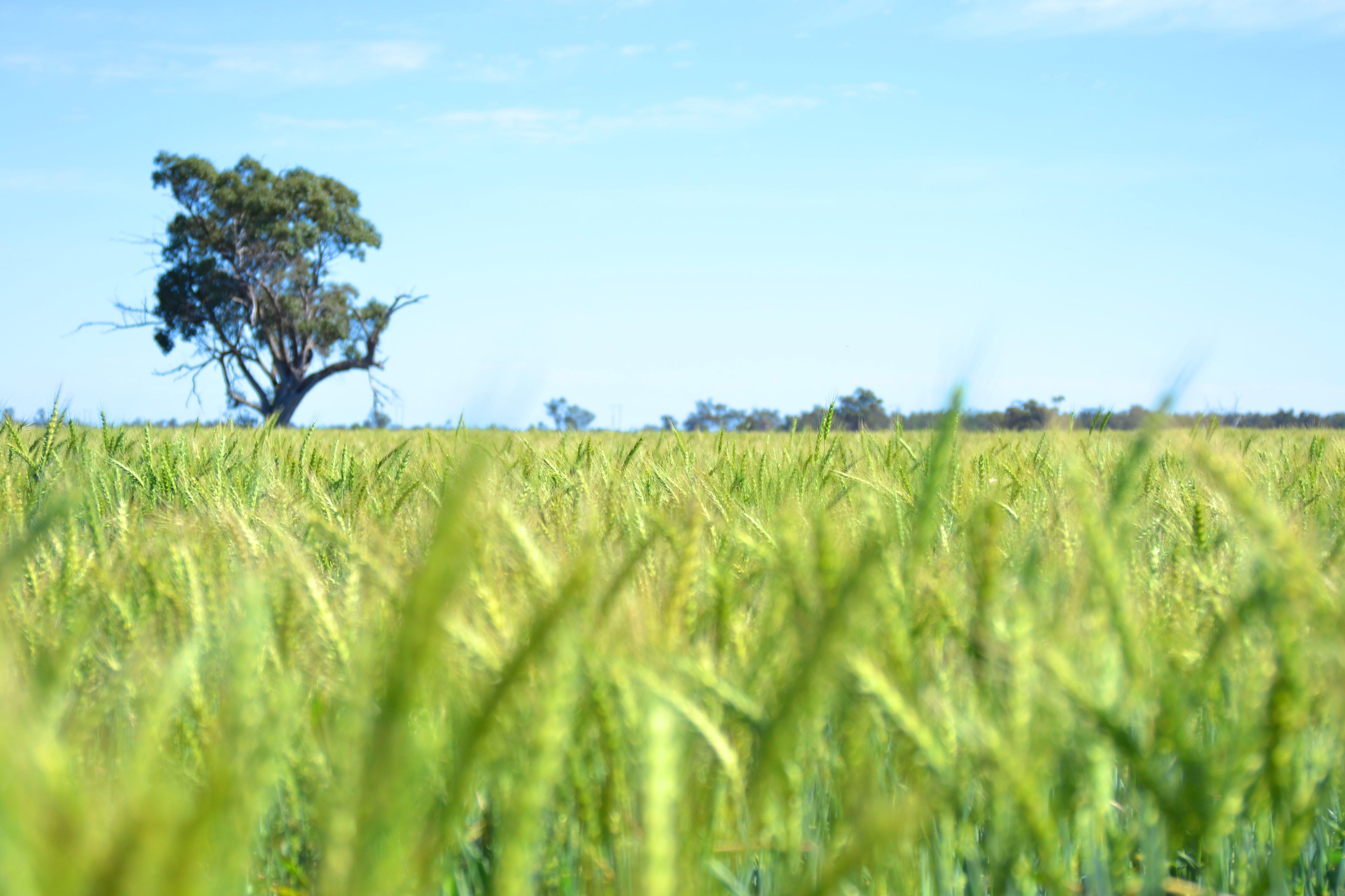 Free stock photo of australia, Dubbo, tree, wheat