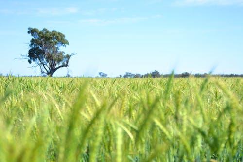 Fotobanka sbezplatnými fotkami na tému Austrália, dubbo, pšenica