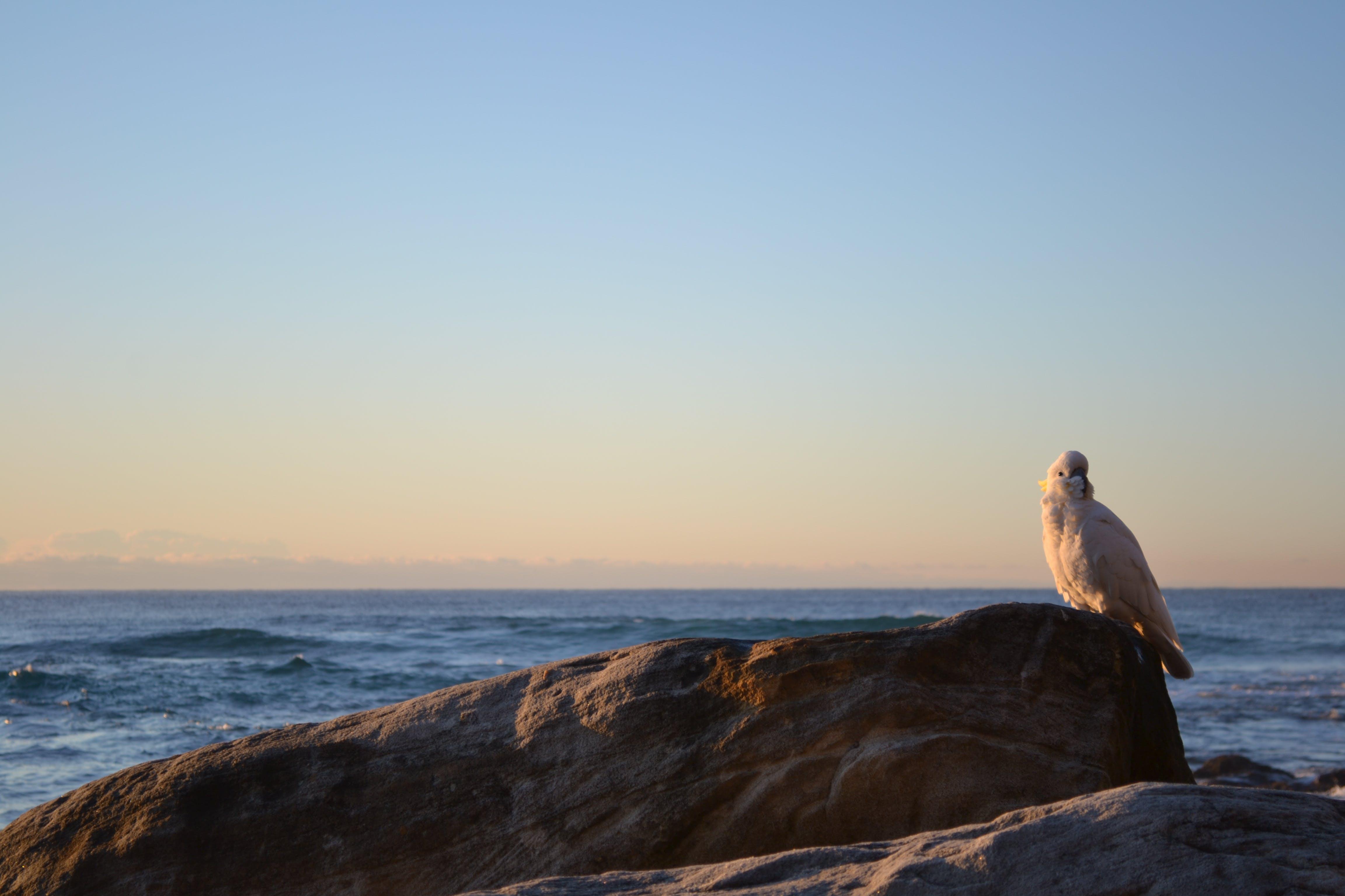 Free stock photo of beach, sunrise, cockatoo, New South Wales