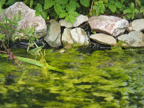 Free stock photo of frog, pond