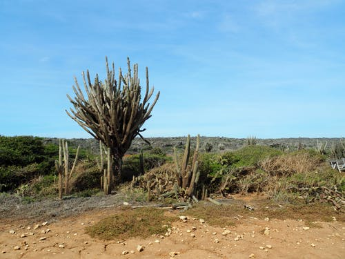 Free stock photo of blue sky, cactuses