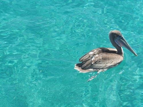 Ảnh lưu trữ miễn phí về biển, Bồ nông, Nước