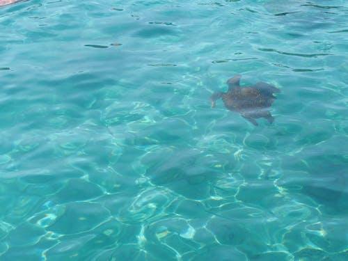 Free stock photo of sea, turtle, underwater