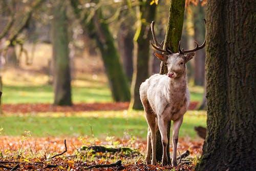 Free stock photo of deer, white deer, wild animals