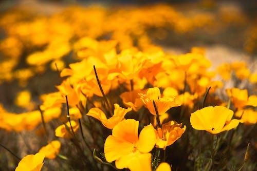 Kostnadsfri bild av blomning, blomsteräng, delikat, färg