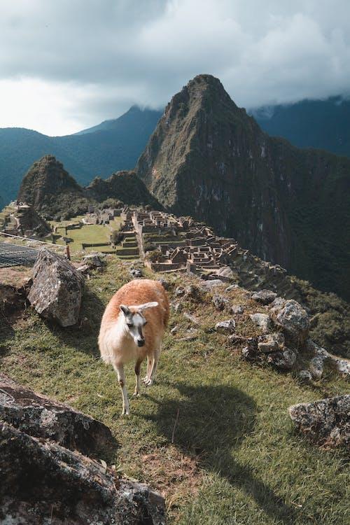Безкоштовне стокове фото на тему «альпака, гора, Денне світло»