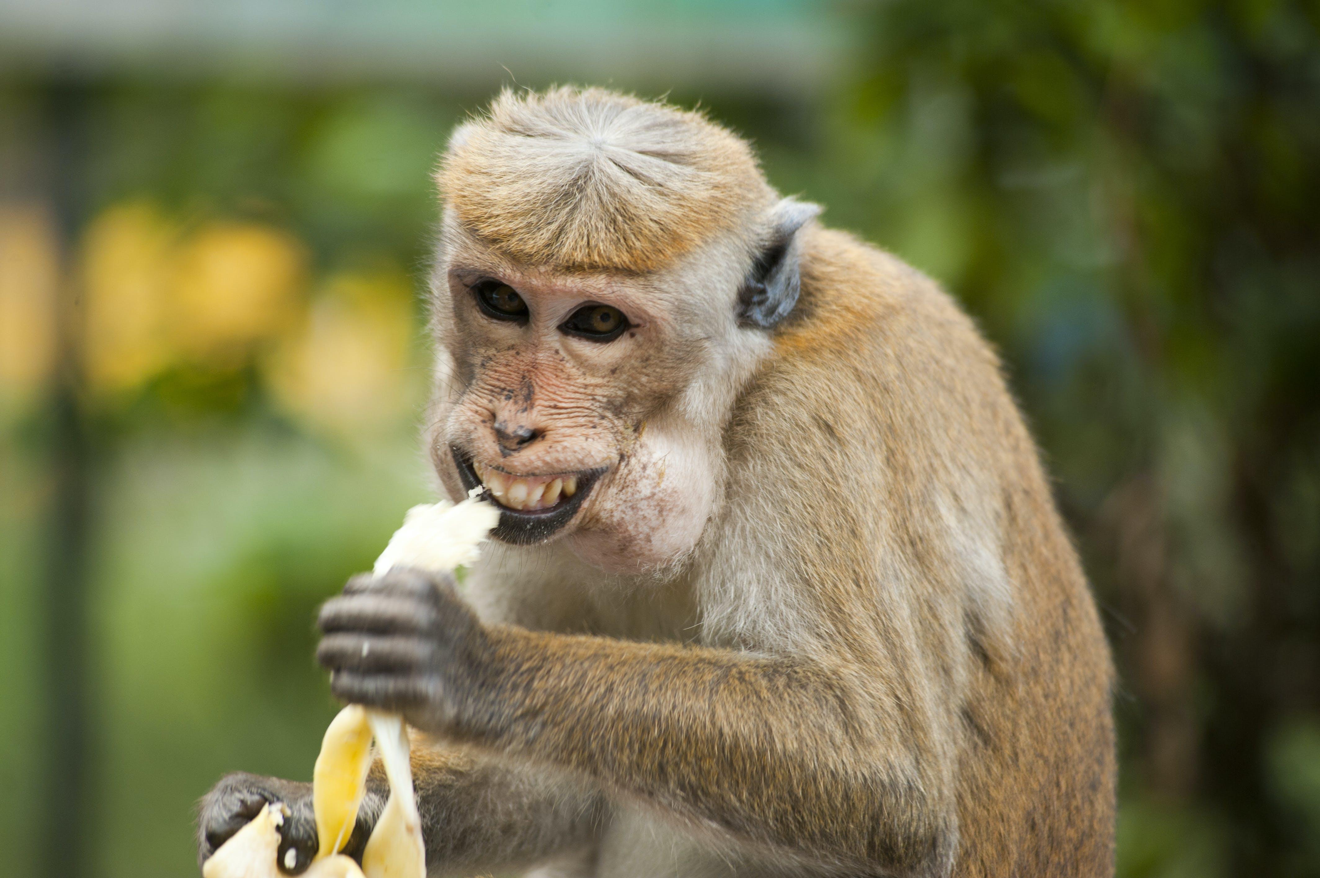 Kostenloses Stock Foto zu affe, banane, dschungel, essen
