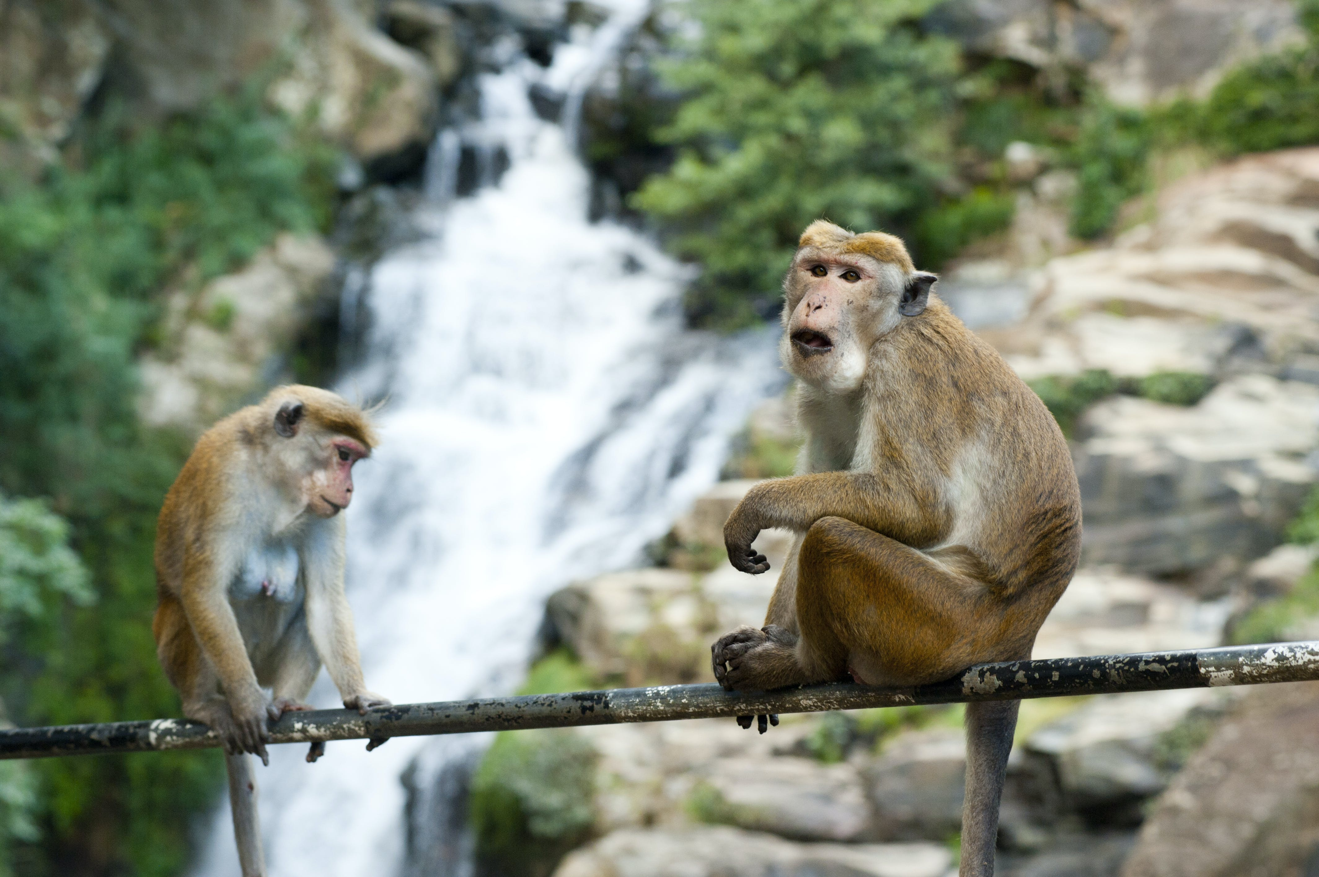 Selective Focus Photography of Two Brown Monkeys