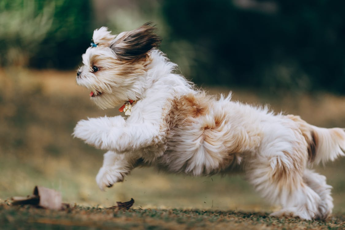 Panning Shot of a Running Shih Tzu