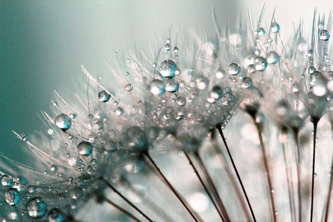 Water Dew on Dandelions