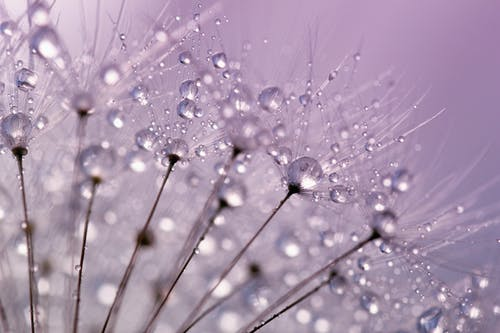 Dandelion Flower With Dewdrops