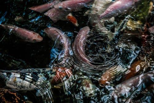 Бесплатное стоковое фото с вода, капельки, обои для рабочего стола, рыба