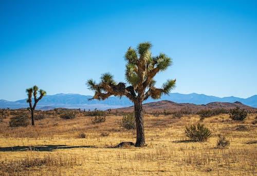 廢棄的, 沙漠, 沙漠植物, 约书亚树 的 免费素材照片