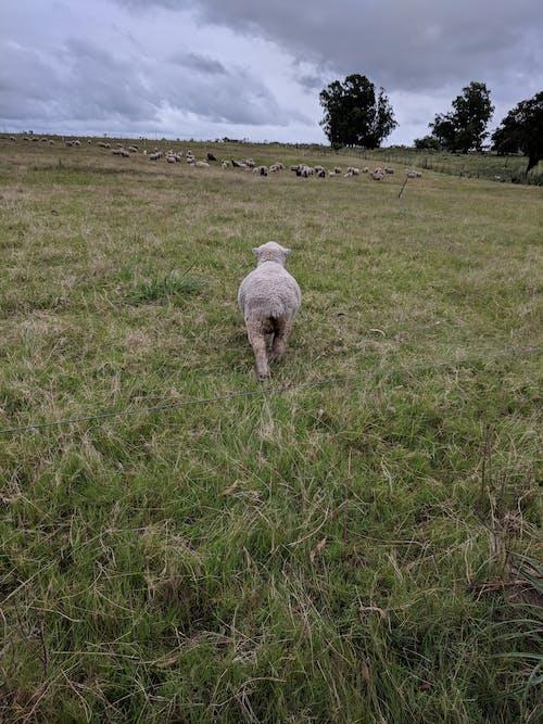 Základová fotografie zdarma na téma farma, mrak, obloha, ovce