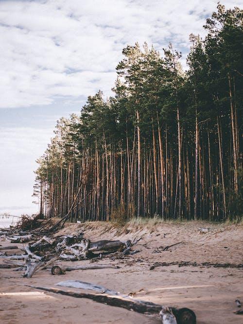 Fotobanka sbezplatnými fotkami na tému borovice, deň, denné svetlo, driftwoods