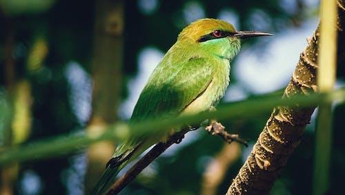 热带鸟, 特寫, 猛禽, 绿色食蜂鸟 的 免费素材照片