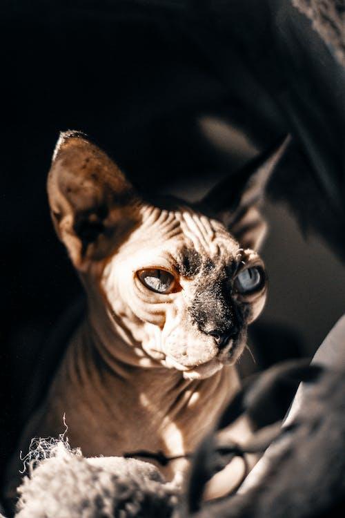Photo of Sphynx cat
