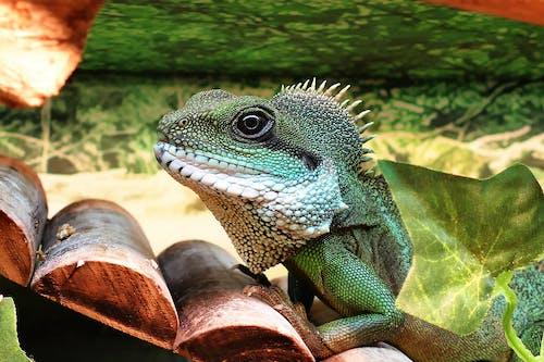 中國水龍, 動物, 寵物, 爬行蟲麟片 的 免費圖庫相片