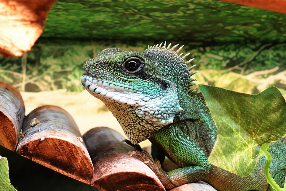 animals, Asian, chinese water dragon