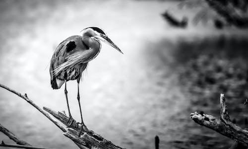 Бесплатное стоковое фото с водоем, животное, журавль, море