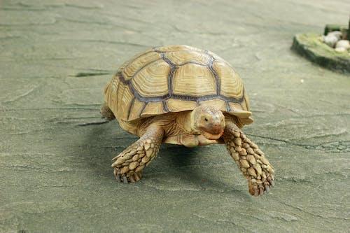 Бесплатное стоковое фото с черепаха.