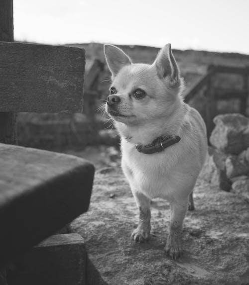 Free stock photo of adventure, black and white, cute animal, dog