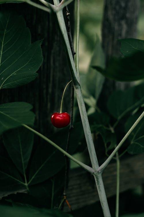 Red Fruit Cherry