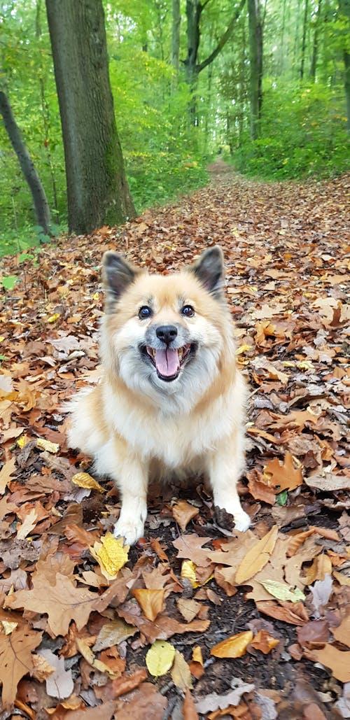 Free stock photo of autumn, dog, happy, leaves