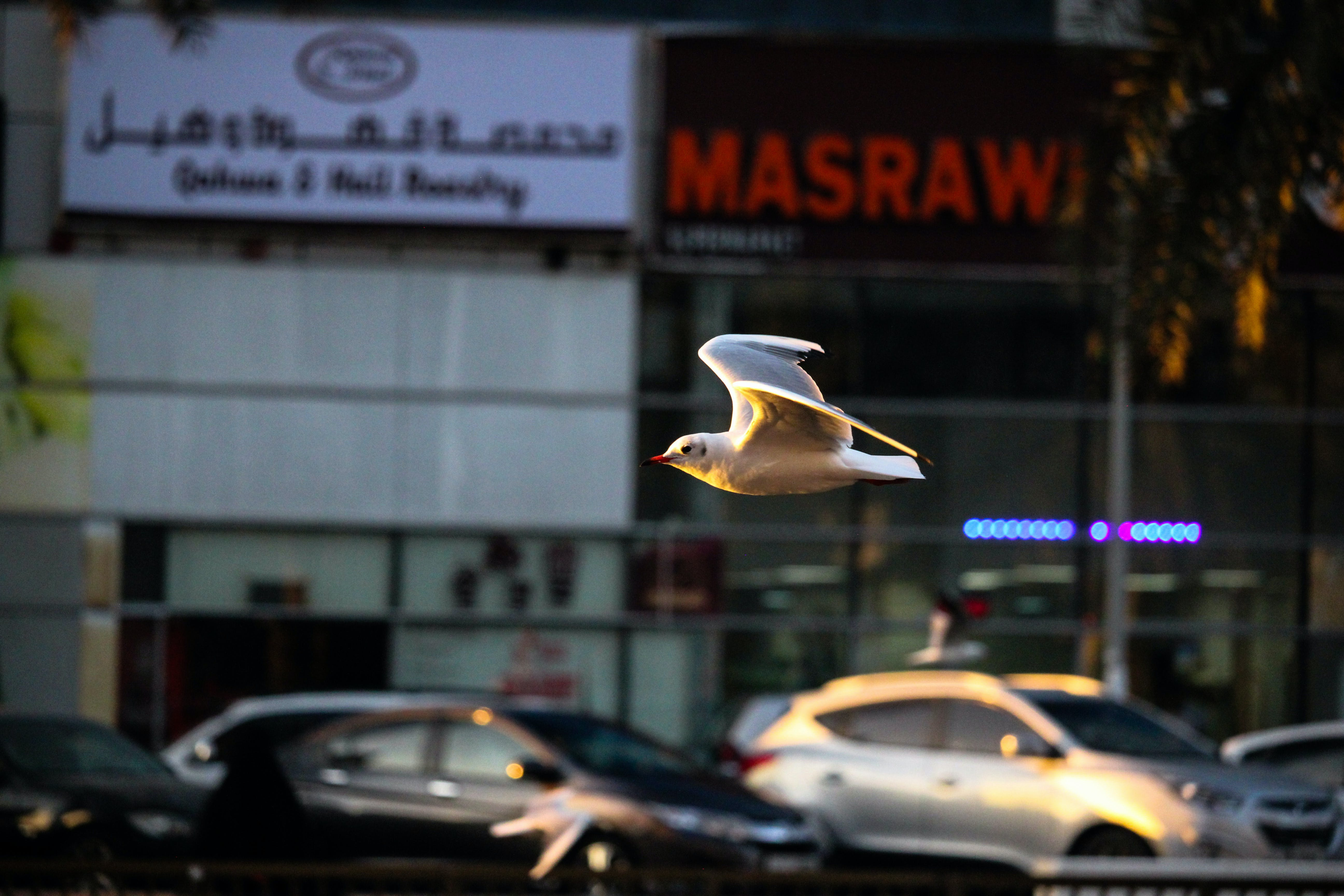 Free stock photo of action, dove, dubai, flying