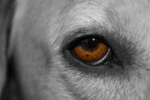 Ingyenes stockfotó kutya, összpontosított, szem témában