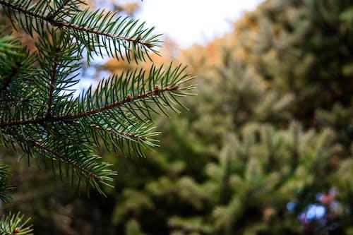 Ingyenes stockfotó fenyő karácsony, fókusz, fókuszál témában