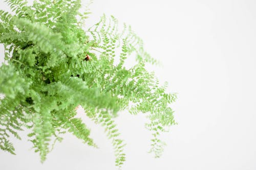 Green Boston Fern Plant