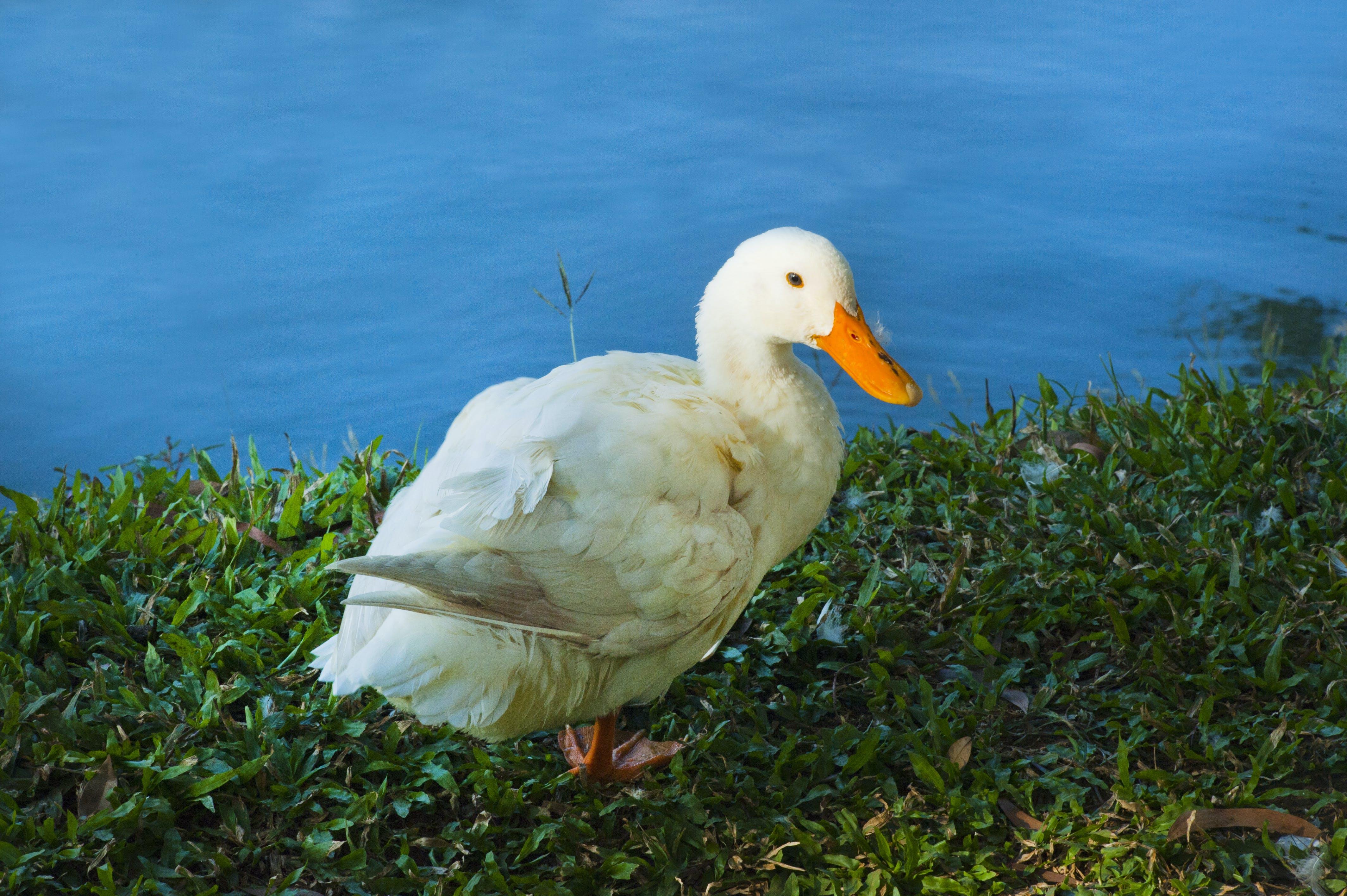 White Duck Near Water Close-up Photo