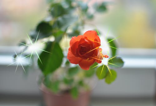 Free stock photo of flower, plant, rose