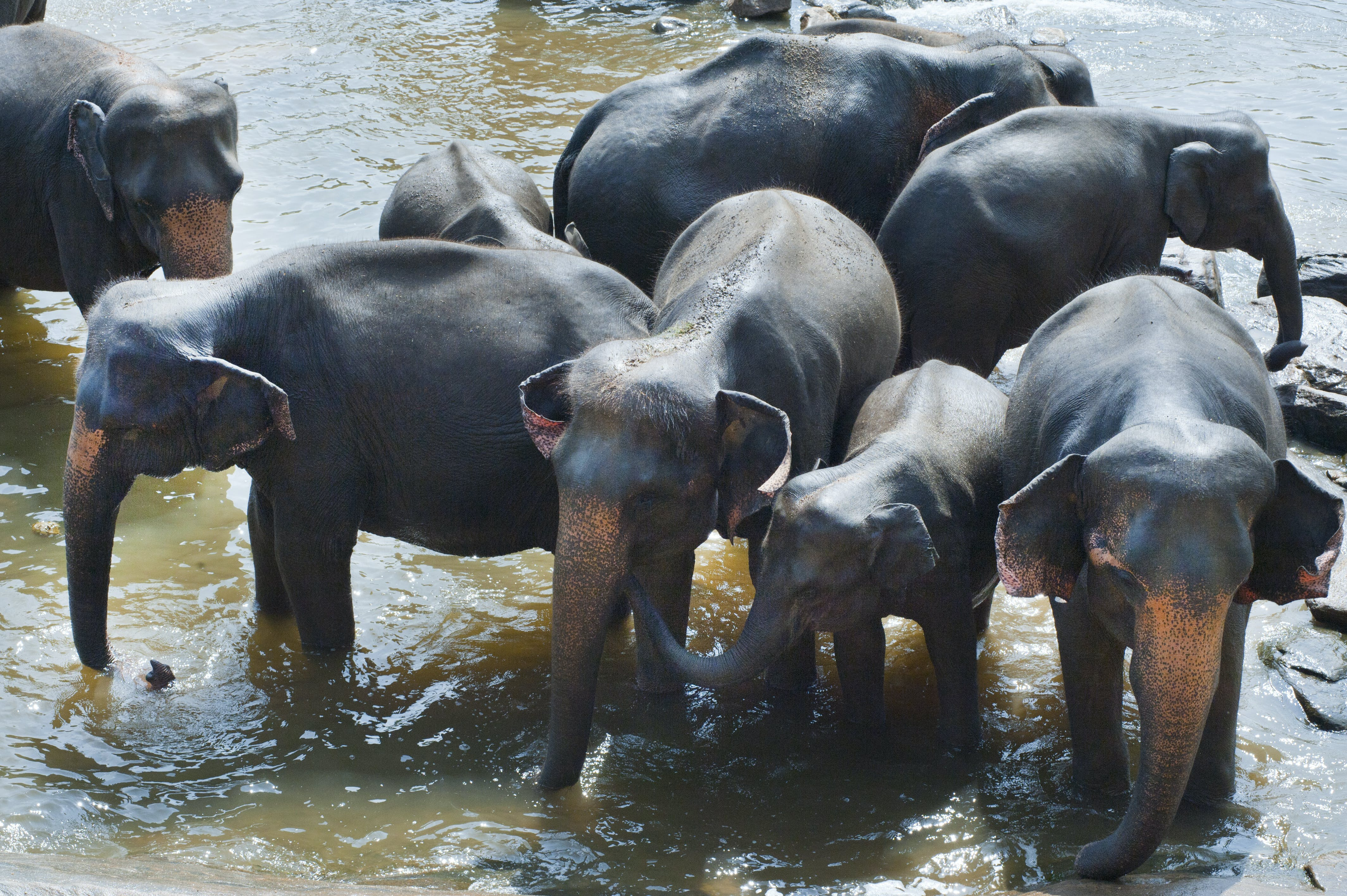 Group of Elephant Drinking Water