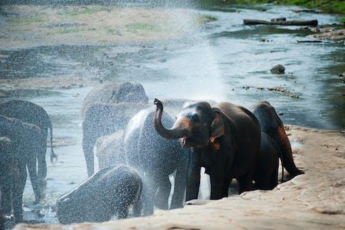Asya, banyo almak, fil, filler içeren Ücretsiz stok fotoğraf
