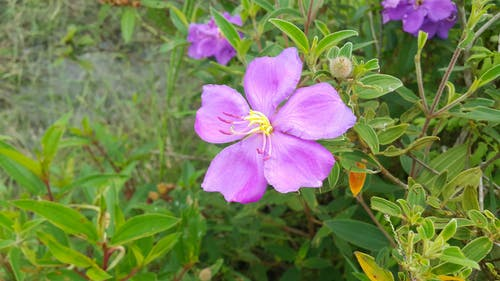 Free stock photo of beautiful flower, beautiful flowers, pink flowers, Rhodomyrtus tomentosa