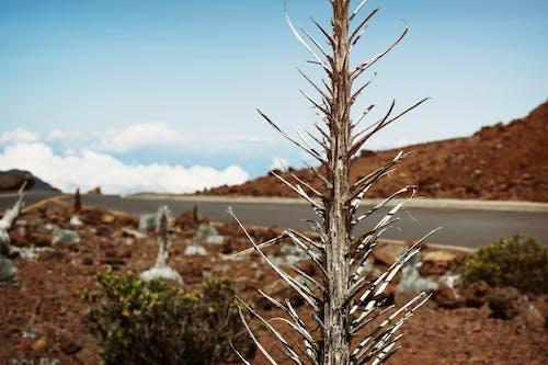 Gratis arkivbilde med anlegg, blå himmel, blomst, haleakala