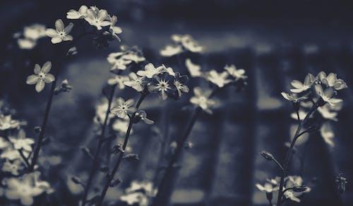 勿忘我, 單色, 天性, 植物群 的 免費圖庫相片