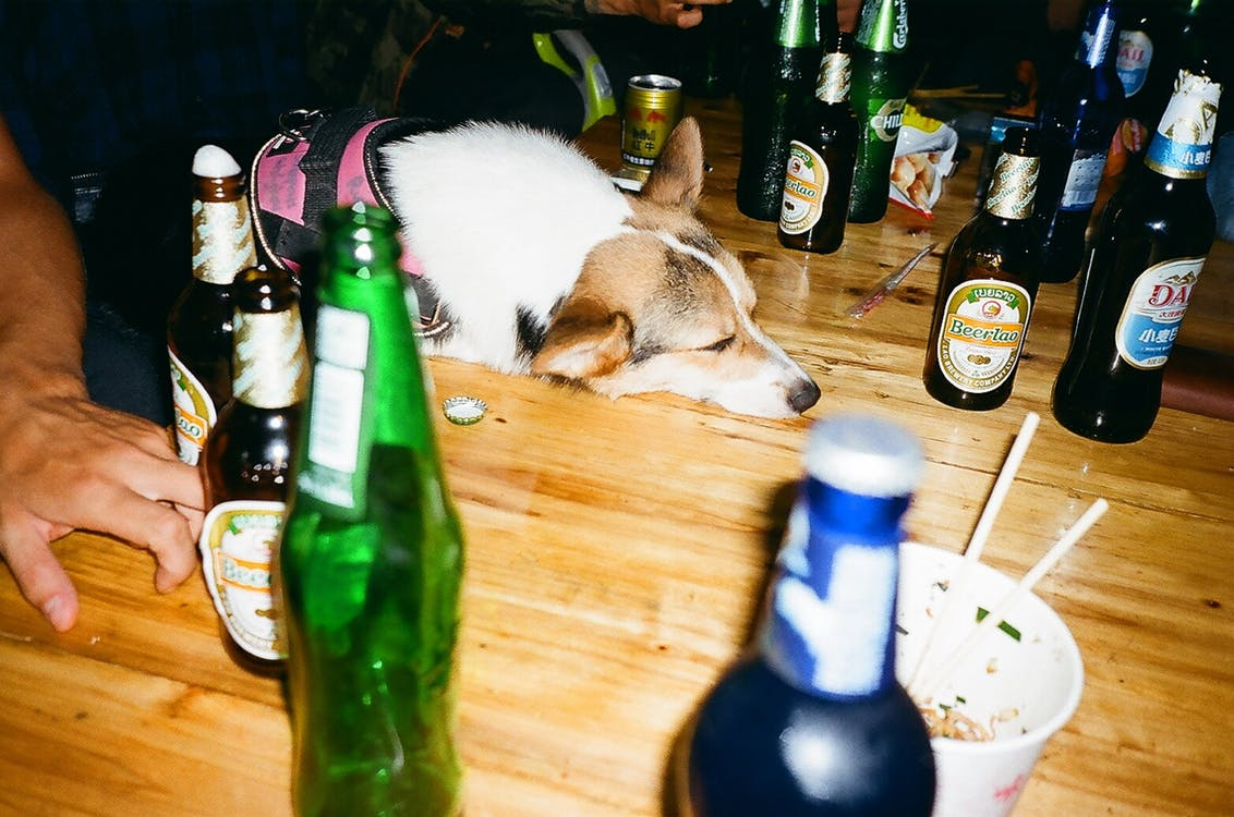 #dog, Čína, corgi
