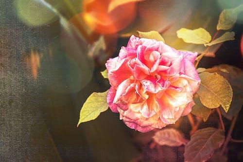 Foto profissional grátis de botão de rosa, flor do jardim, flora
