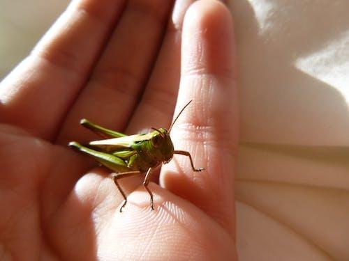 çekirge kriket böcek hayvan böcek içeren Ücretsiz stok fotoğraf