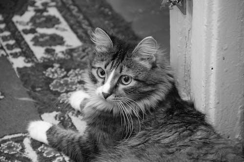 Gratis lagerfoto af dyr, kæledyr, kat, Se