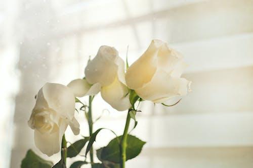 エレガント, バラ, フラワーズ, ロマンスの無料の写真素材