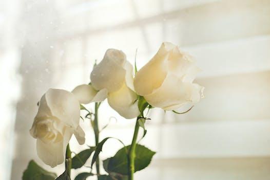 1000 great white rose photos pexels free stock photos free stock photo of light romantic flowers petals mightylinksfo