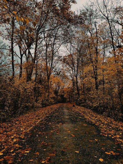 ağaçlar, akçaağaç yaprakları, altın, düşmek içeren Ücretsiz stok fotoğraf